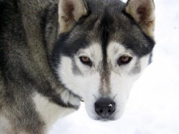 Husky appartenant à Daniel Benfares, musher dans le Queyras