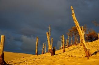 Le soleil embrase les pins morts